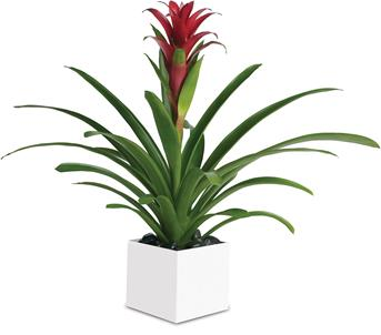 Called: Bromeliad Beauty. Description: Related to the pineapple plant, perhaps because of its sweetness, this gorgeous beauty adds red and tropical greenery to any room.