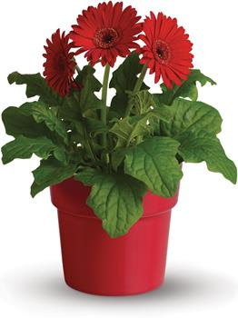 Called: Rainbow Days. Description: Full of good energy and delightful to behold, this potted gerbera will be a welcome addition to anyones home.