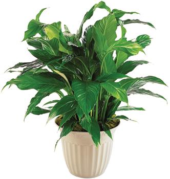 Called: Simply Elegant. Description: Known as a Peace Lily, this spathiphyllum plant with its dark green shiny leaves produces lovely white flowers all year.