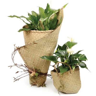 Order online indoor plants as gifts with online delivery for Indoor plant gift ideas