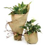 Peace Lily or Anthurium