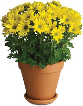 Called: Sweet as a Daisy. Description: It is no wonder so many people are crazy about daisies. Daisy chrysanthemums, that is.