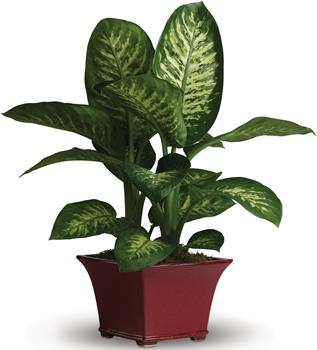 Called: Delightful Day. Description: This delightful dieffenbachia makes a dashing gift! Rich and relaxing shades of green are on display in this easy to-care-for leafy plant.