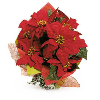 Called: Poinsettia. Description: Poinsettia - What a great seasonal gift